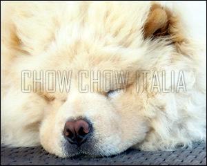 Chow Chow Aron