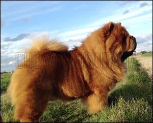 Chow Chow Max
