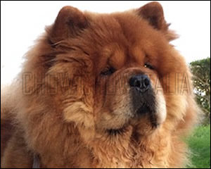 Chow Chow Oliver