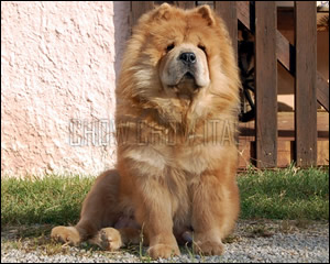 Chow Chow cannella a pelo lungo