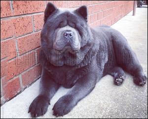 Chow Chow blu a pelo corto