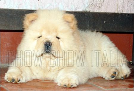 Cucciolo Chow Chow crema