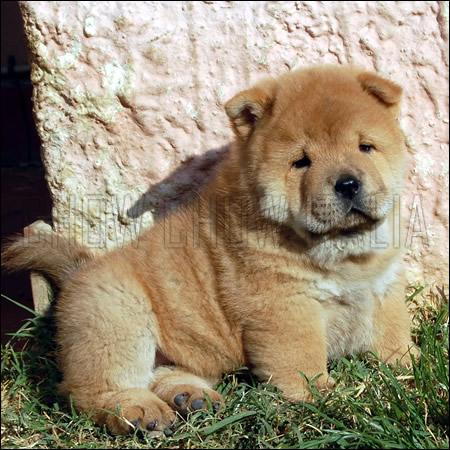 Cucciolo Chow Chow rosso a pelo corto