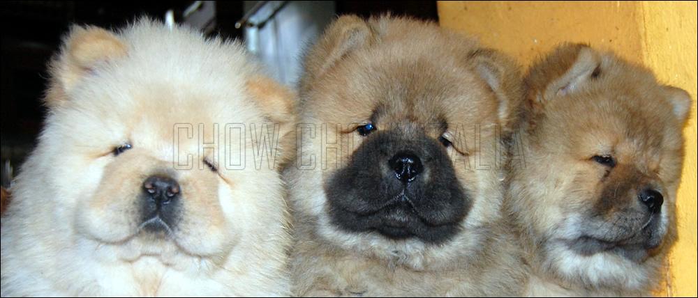 Cuccioli Chow Chow