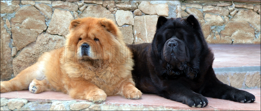 Il carattere del Chow Chow