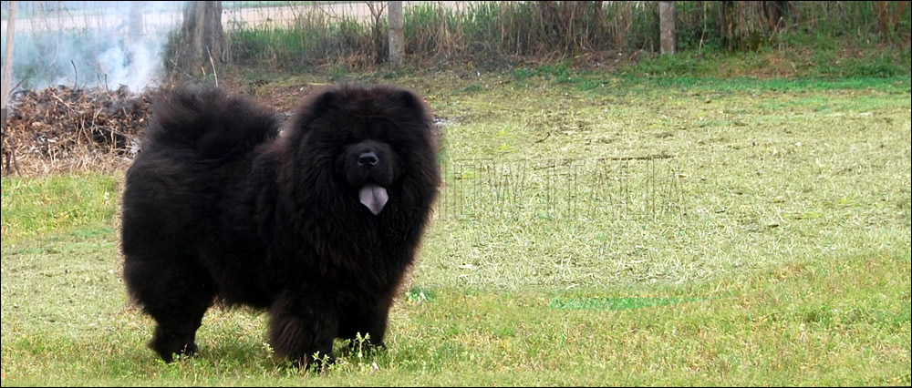 Standard del Chow Chow
