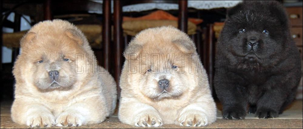 Cuccioli Chow CHow cannella e nero